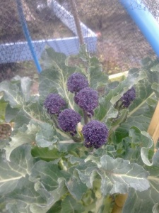 purple sprouting dinner