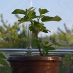 fig twig