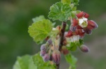 jostaberry blossom