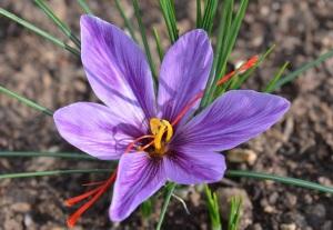 saffron Sept 2015