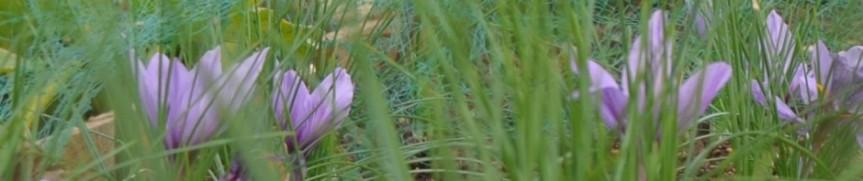 cropped-saffron-banner.jpg