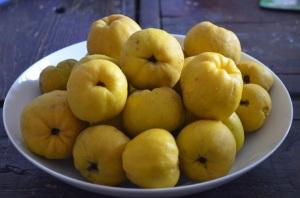 japonica quinces