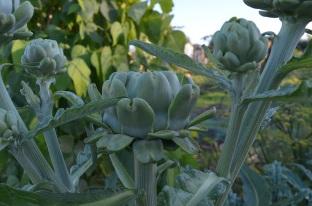 late artichokes