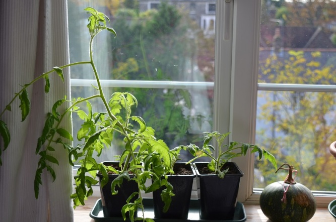 overwintering tomatoes late October