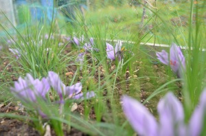 saffron bed