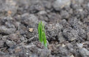 saffron - emerging