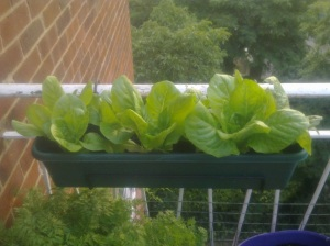 balcony lettuces