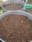saffron spikes