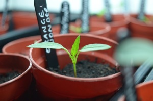 chilli seedling
