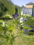 F2 chenzo chilli flowers