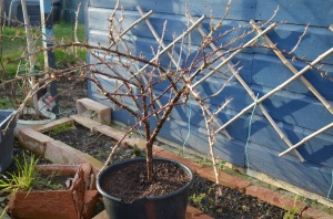 gooseberry potted March 16