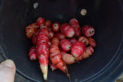 pathetic oca harvest