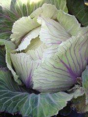 shetland kale