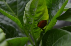anti-aphid army