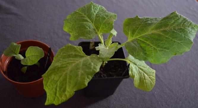aubergines 3 weeks apart