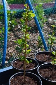 gooseberry cuttings April 2016
