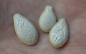 Japanese pie squash seeds