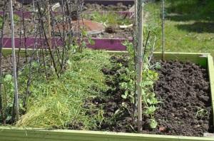 purple-podded peas