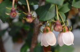 chilean guava blossom
