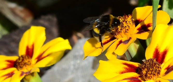 bee on marigold 2