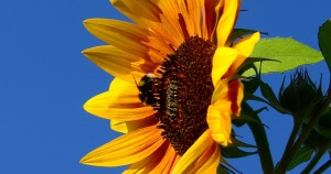 sunflower bumblebee