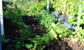 oca-plants