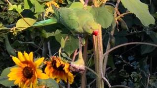 sunflower-thief