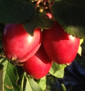 crab-apple