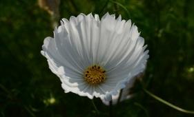 cosmos-bipinnatus-cupcakes-white