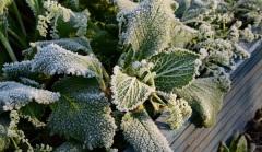 frozen-borage