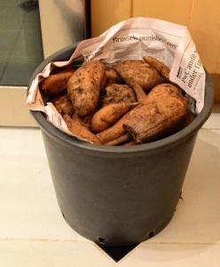 bucket-of-yacon