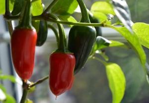 chillies-2
