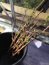 raspberry-cuttings-bucket