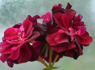 geranium amythest