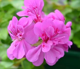 geranium tommy