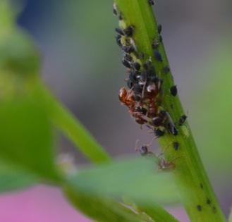 Anty farmers