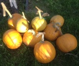 Sucrette squashes for Heritage Seed Library
