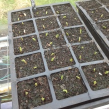 MBTP seedlings